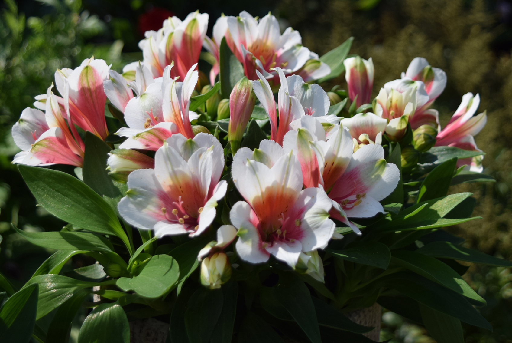 Konst Alstroemeria Supplier Of Youngplants For The Professional Grower