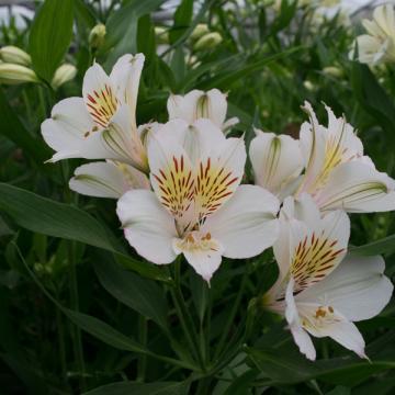 Alstroemeria Akemi flower