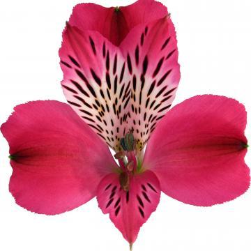 Könst Alegria konalegria Alstroemeria Flower
