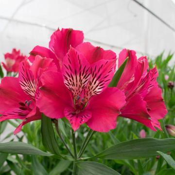 Alstroemeria alegria flower
