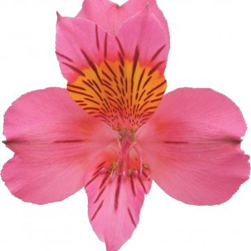 Könst Amposta konamposta Alstroemeria Pink Roze Bloem Flower