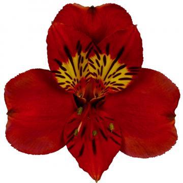 Könst Angelina konangelin Red Rood Flower Bloem