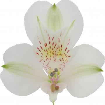 Alstroemeria Könst Bianca 'konbianca' White Flower