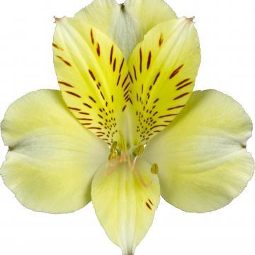 Alstroemeria Könst Boa Vista konoavista Flower Creme