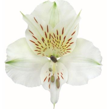 Könst Bounty - Alstroemeria White