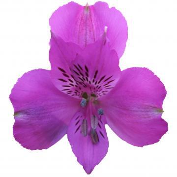 Alstroemeria Camaro flower