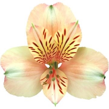Alstroemeria Canyon flower