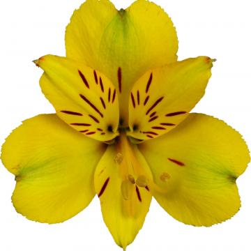 Alstroemeria Könst Caribbean konaribean Yellow Flower