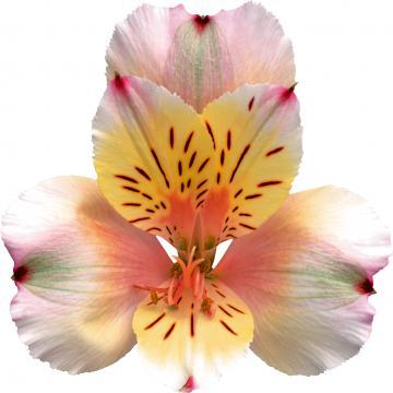 Alstroemeria champagne flower