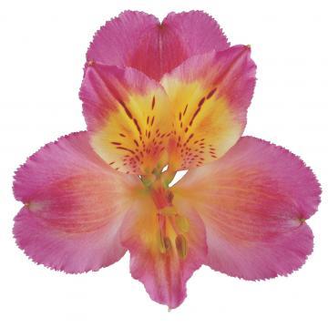 Alstroemeria Könst Chanel konanel Flower Pink