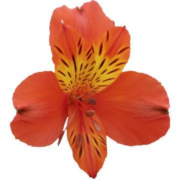 Alstroemeria Cinnamon flower