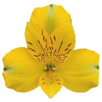 Könst Copacabana - Alstroemeria Yellow