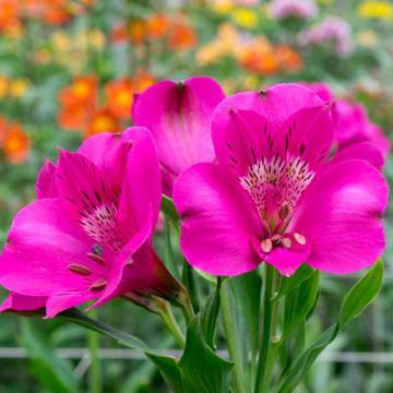 Alstroemeria Daytona flower