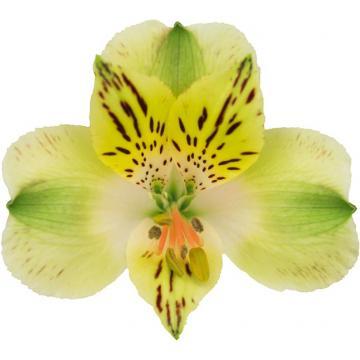 Alstroemeria Everglades flower