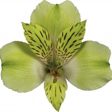 Alstroemeria Greenday flower