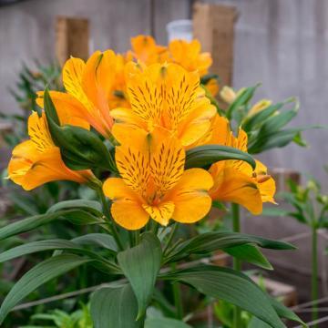 Alstroemeria Gypsy flower