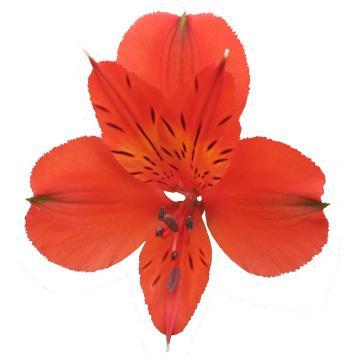 Könst Havanero - Alstroemeria Orange