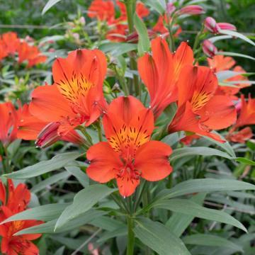 Alstroemeria Havanero flower