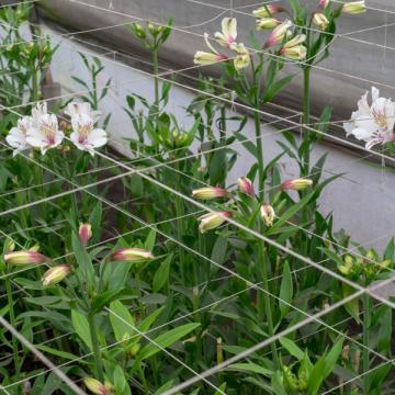 Alstroemeria Himalaya flowers