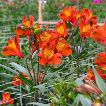 Alstroemeria Icarus flower