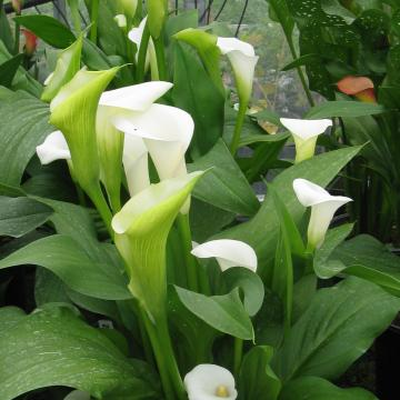 Könst Ivory Art konartivor Zantedeschia Calla Color White Crop