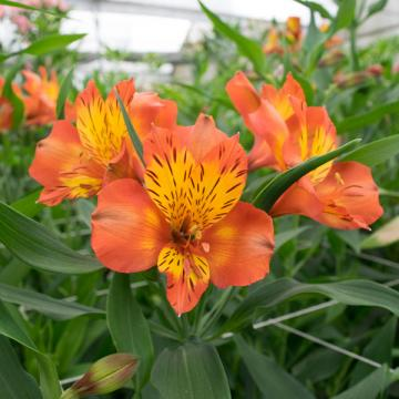 Alstroemeria jaffa flowers