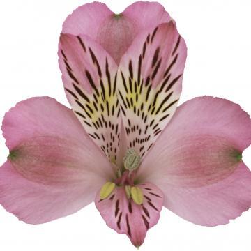 Alstroemeria jumbo flowers