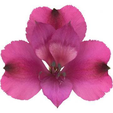 Könst La Bonita - alstroemeria purple