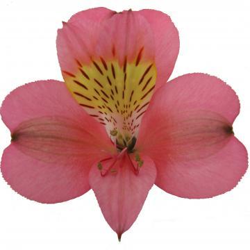 Alstroemeria Livorno flower