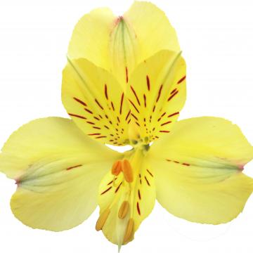 Alstroemeria Mellow Yellow flowers