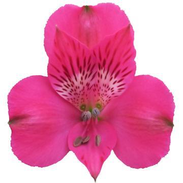 Alstroemeria Melrose flower