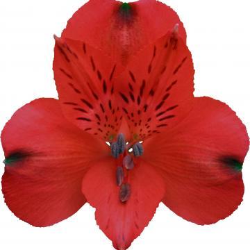 Alstroemeria Merlot flowers