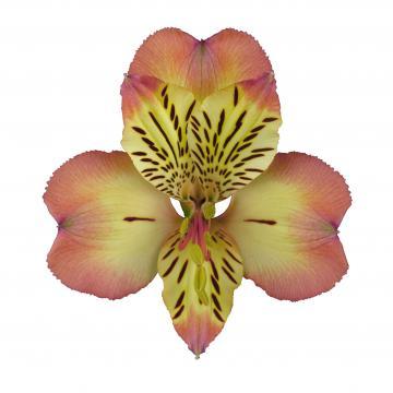 Alstroemeria Milos Flower