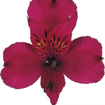 Alstroemeria Napoli flowers