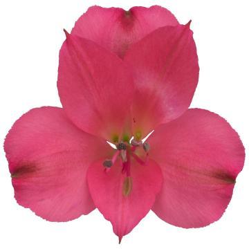 Könst Neon - Alstroemeria Pink