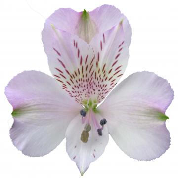 Alstroemeria pacific flower
