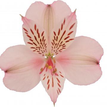 Alstroemeria Papilon flower