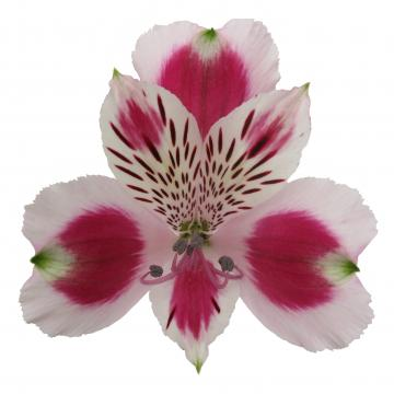 Alstroemeria Picanto flower