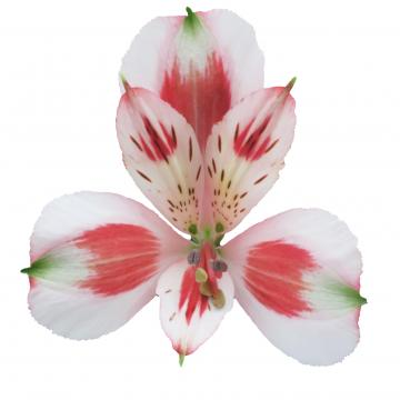 Alstroemeria Pierrot flower