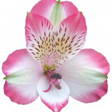 Alstroemeria pinkpop flowers