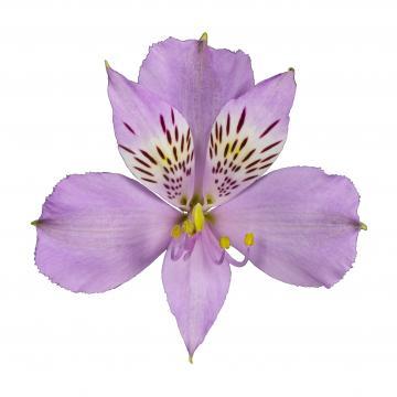 Alstroemeria Platina flower