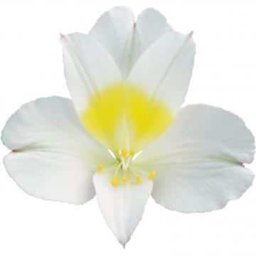 Alstroemeria Precious flower
