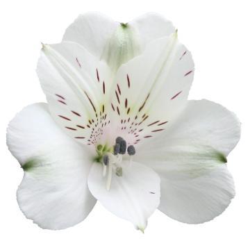 Könst Renaissance - Alstroemeria White