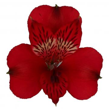 Alstroemeria Romance flower
