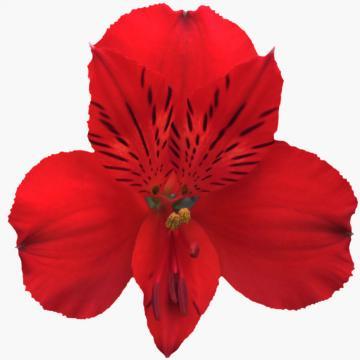 Alstroemeria Saudade flower