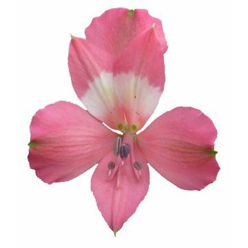 Könst Serenity - Alstroemeria Pink