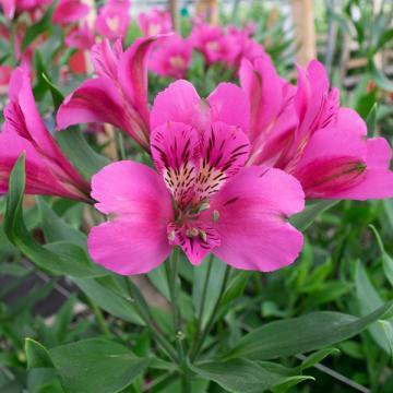 Alstroemeria Stratus flower