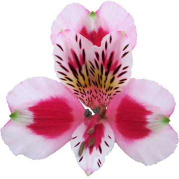 Alstroemeria sweetheart flower