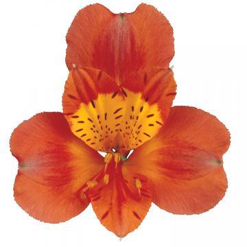 Alstroemeria Tropicana flower