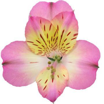 Alstroemeria Valerie Flower